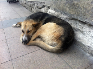 istanbul dogs (1)