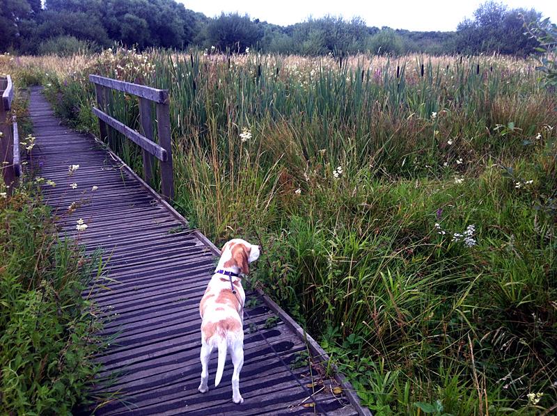 gertie on wild meadow trail
